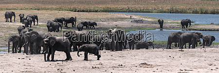 elephant group on the chobe river