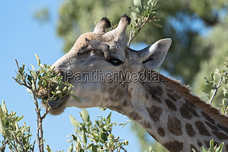 red billed oxpecker on the head