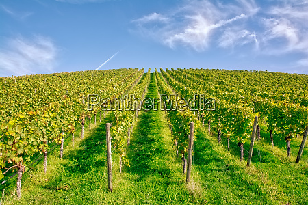 vineyard rows wine outdoors daytime changing