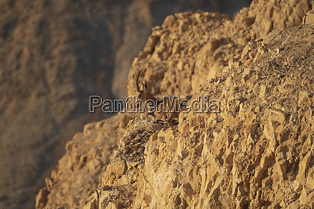 nubian ibex on the cliffs of