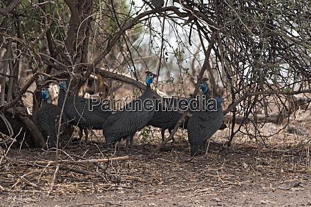 helmeted guineafowl in the shade of