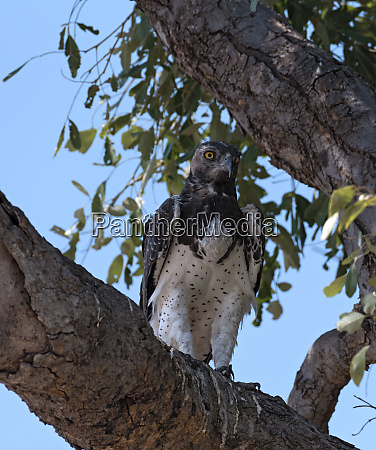 martial eagle sitting on a branch
