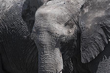 african elephant close up chobe national