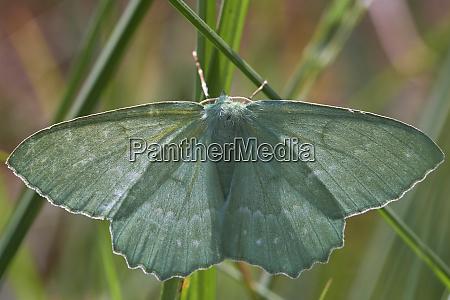 geometer moth between grass