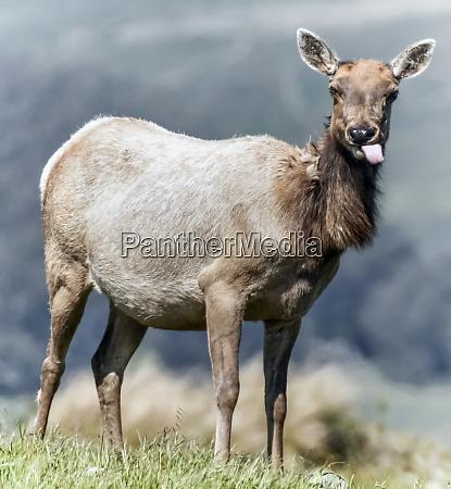 tule elk cervus canadensis nannodes adult