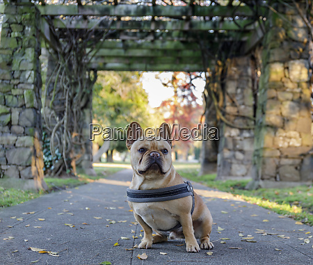 young french bulldog sitting in front