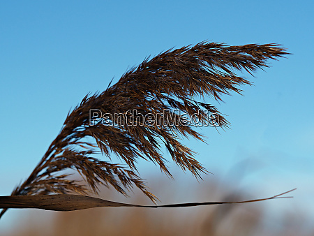 reed seed head blowing in the