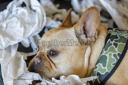 frenchie resting from paper shredding enjoyment