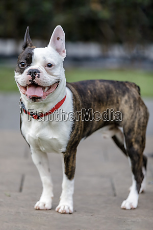 french bulldog and boston terrier cross