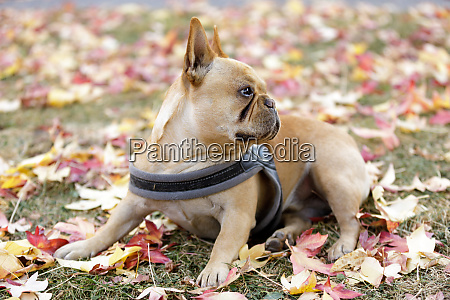 curious french bulldog young male in