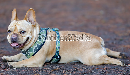 young male frenchie resting with frog