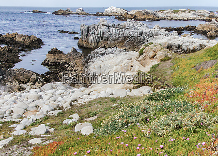 wildflowers and rocky shore of asilomar