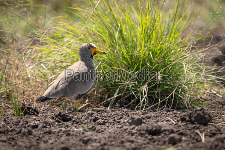 senegal wattled plover by clump of