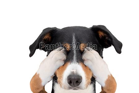 appenzeller mountain dog hiding covering both
