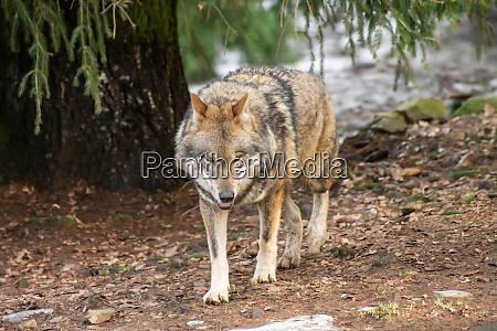 wolves, in, the, zoo, in, autumn - 26135576