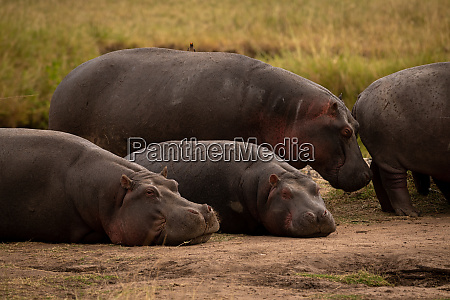 two hippos standing and two lying