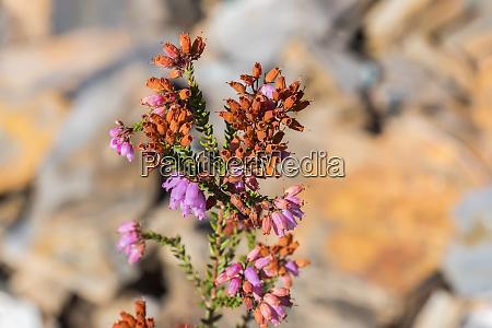 heather plant in flower in autumn