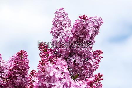 blooming pink lilac flowers in spring
