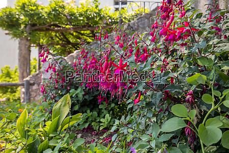 flowers of red dipladenia mandevilla