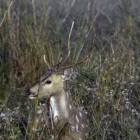 portrait of young male chital or