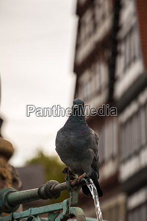 drinking pigeon sitting on a fountain