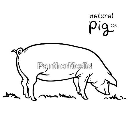 pig of illustration isolated on white
