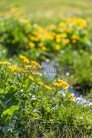 marsh marigold flowers caltha palustris and
