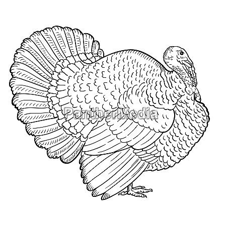 white turkey illustration sketch turkey isolated