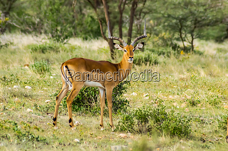 male impala with curious look in
