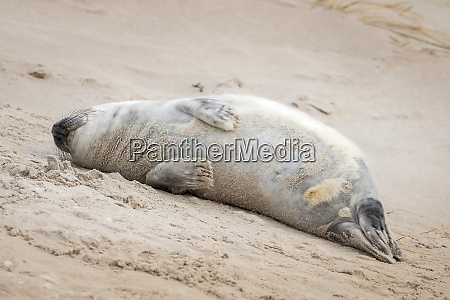a grey seal lies on the