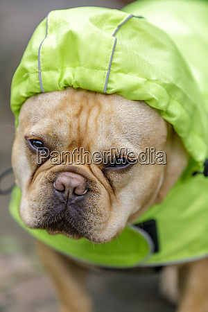 frenchie in reflective raincoat on a