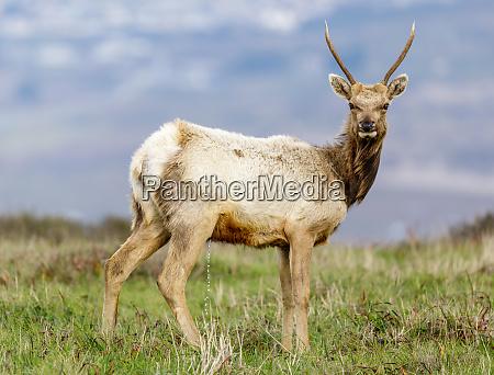 tule elk bull yearling urinating