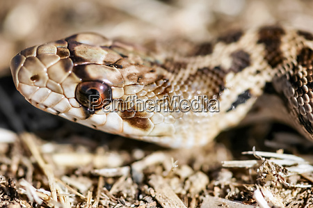 adult pacific gopher snake pituophis catenifer