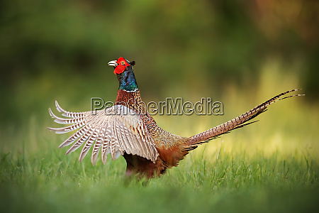 male common pheasant phasianus colchicus rooster