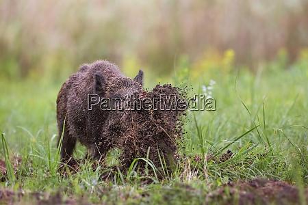 wild boar sus scrofa digging on