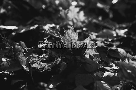 black white photo tree leaf forest