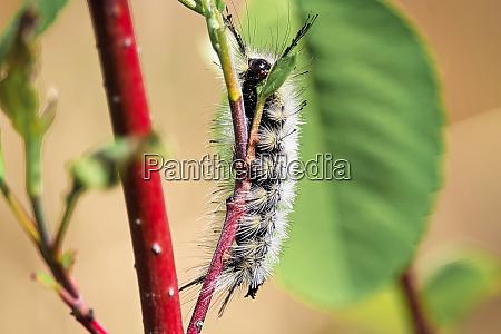 a closeup of a tussock moth