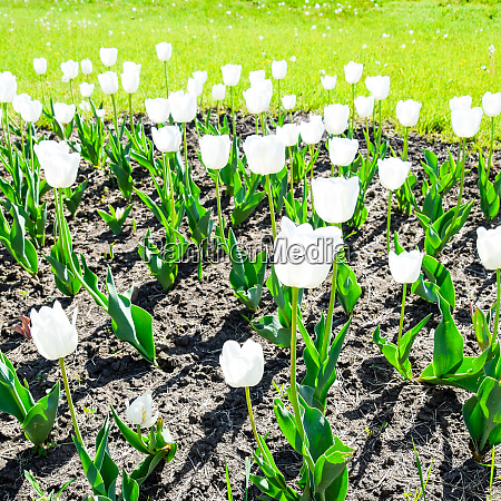 a flower bed with white tulips