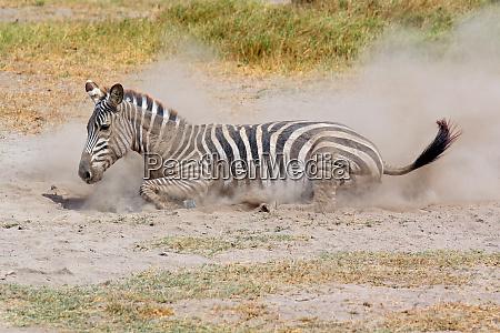 a plains zebra equus burchelli rolling