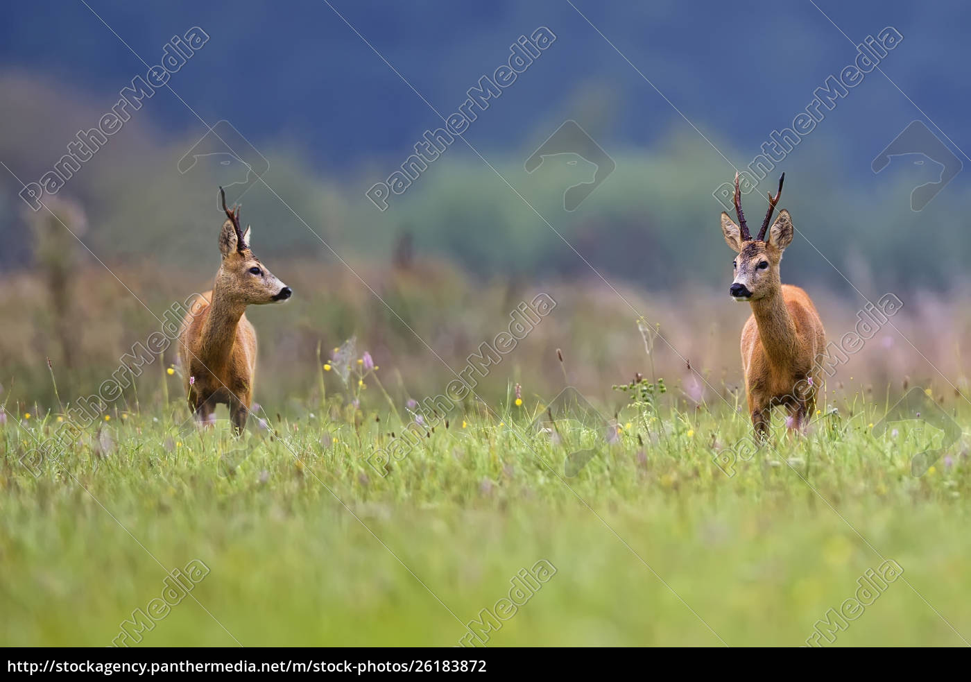 buck, deers, in, a, clearing, - 26183872