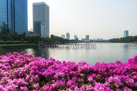 benjakitti bougainvillea flowers