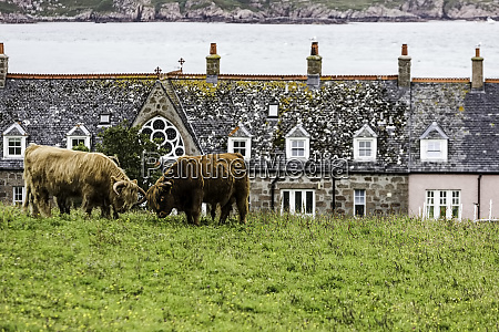 cattle locking horns near iona island