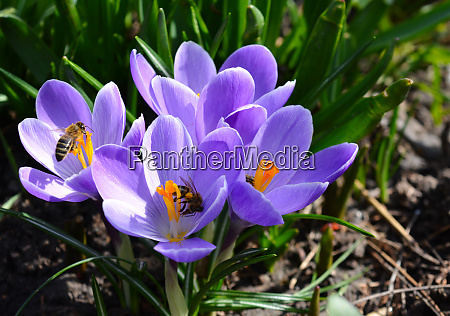 close up photo of crocus flower