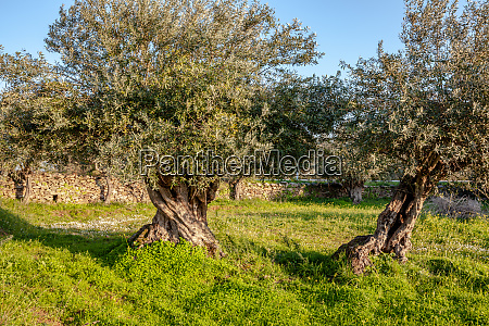 old olive trees grove in sunny