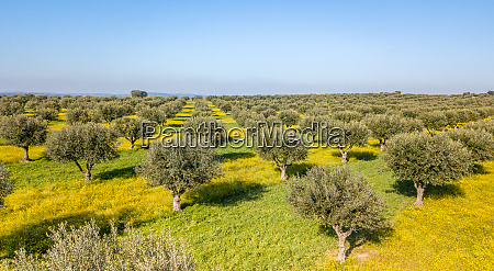 drone aerial view of olive grove