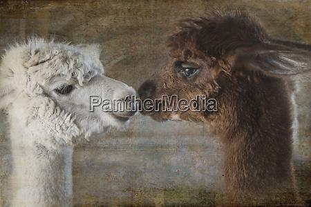 composite image of two alpacas nose