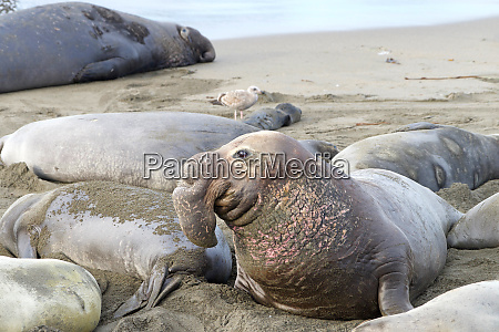 male elephant seal arched up viewing