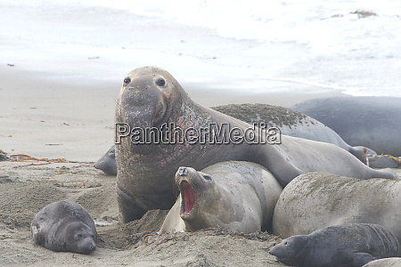 male elephant seal attempting to breed