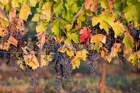 ripe merlot grapes lit by warm
