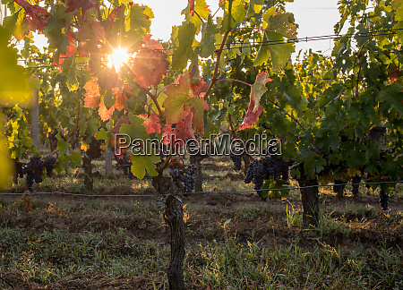 morning light in the vineyards of